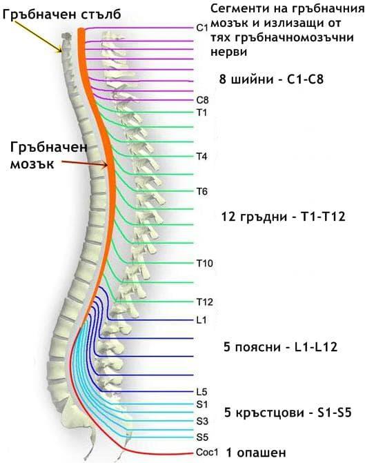 Сегменти и нерви на гръбначния мозък