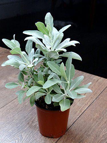 Градински чай в саксия
