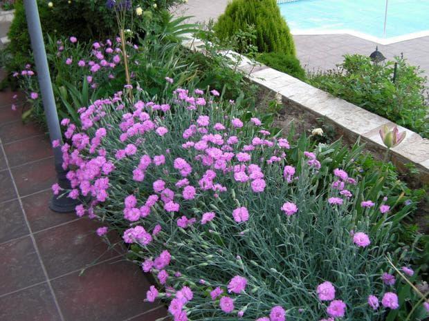 градина с карамфили