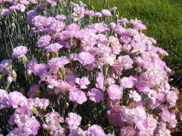 цветове на градински карамфил