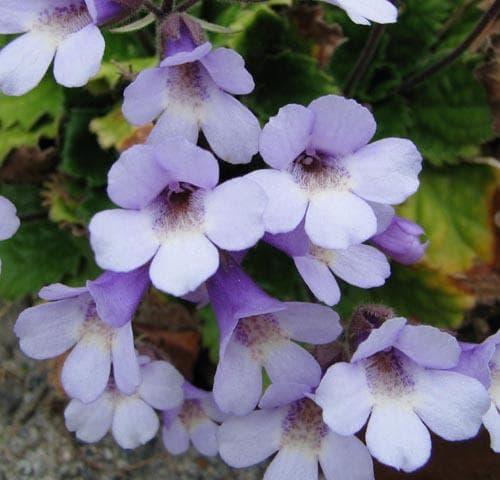 цветове на орфеево цвете