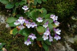 растение орфеево цвете