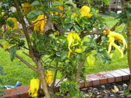 дърво с плодове ръка на Буда