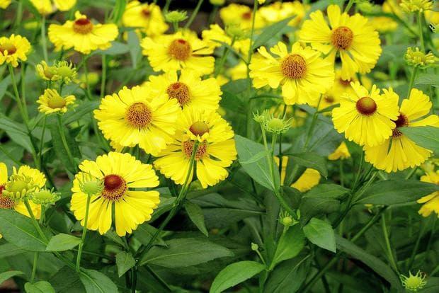 жълт есенен хелениум