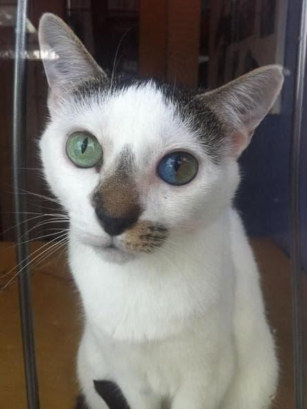Котка с хетерохромия