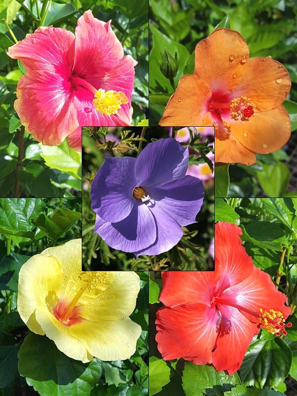 видове китайски рози