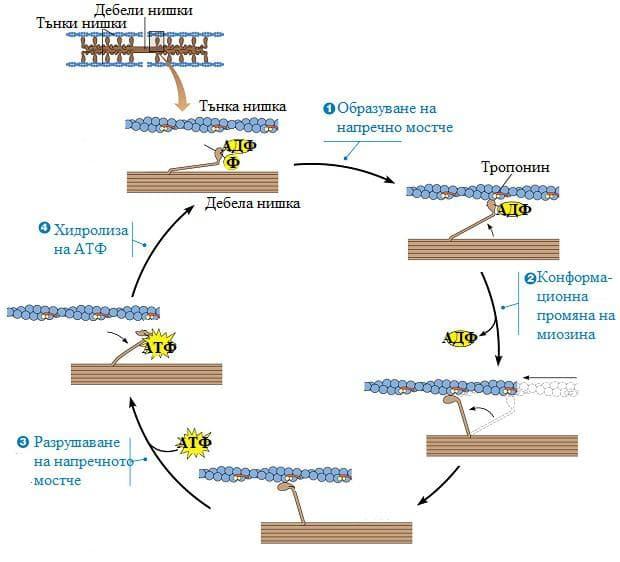химиомеханичен цикъл