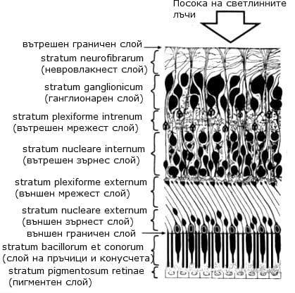 Хистологични слоеве на ретина