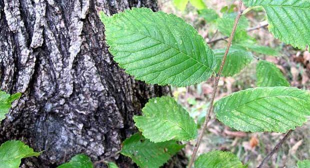 Кора и листа от хлъзгав бряст