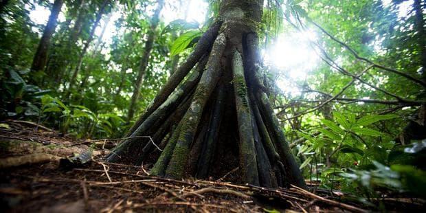 ходещи дървета в Еквадор