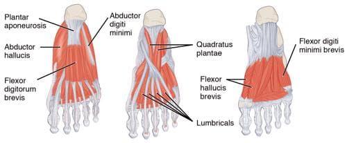 мускули на стъпалото