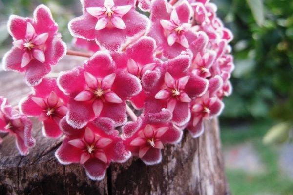 Хоята (восъче, восъчно цвете) носи нежност и любов в дома.