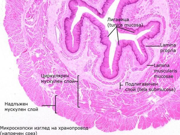 Микроскопски изглед на хранопровод - напречен срез