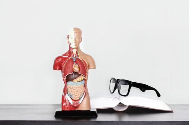 Модел на храносмилателна система, книга и очила