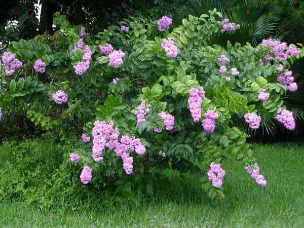 храст банаба