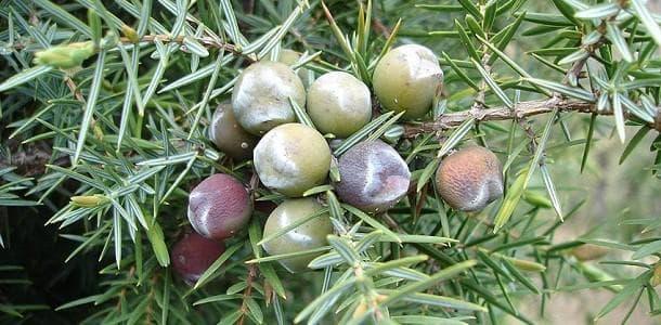плод хвойна при охлузване