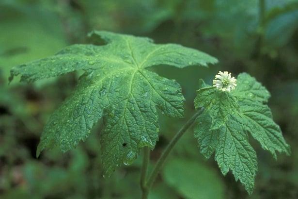 Хидрастис цвят и лист