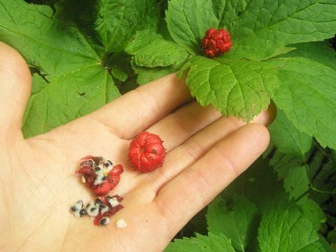 семена от хидрастис