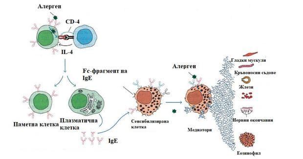патофизиология на свръхчувствителност от първи тип