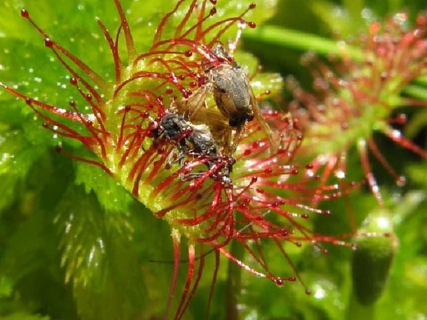 росянка с насекомо