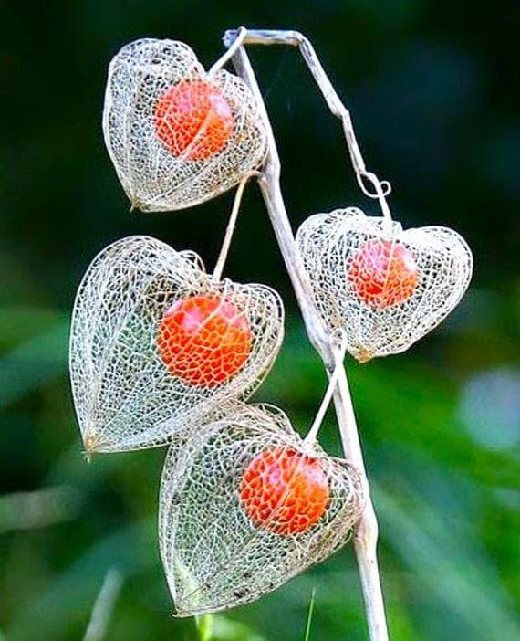 плод мехунка