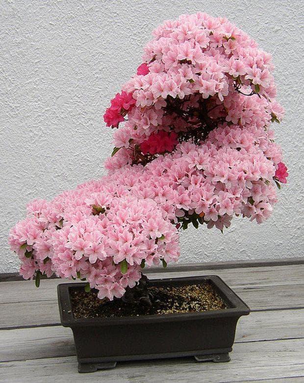 бонзай японска вишна