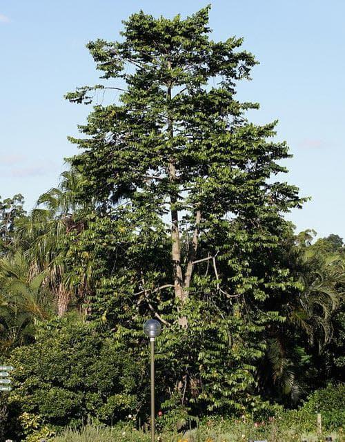 дърво иланг-иланг