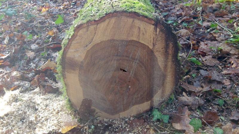 дървесина на цер
