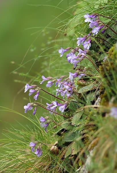 стръкчета орфеево цвете