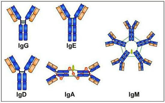 5 класа имуноглобулини