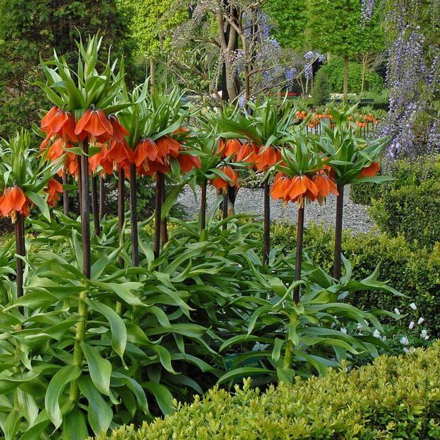растение ходжово лале