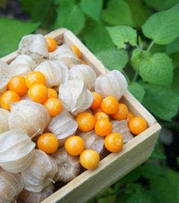 плодове на инка бери