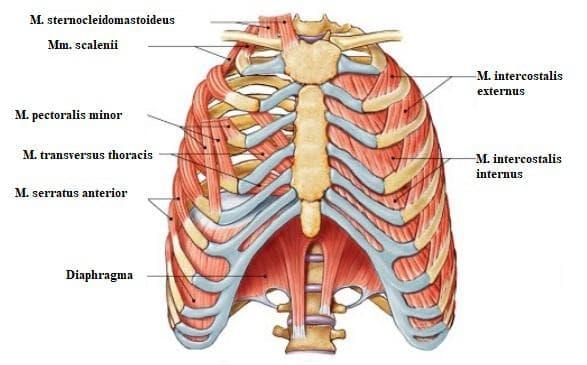 инспираторни мускули