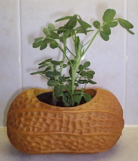 фъстъково растение