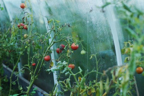 Избягвайте преполиване и висока влажност на доматите в оранжерията.