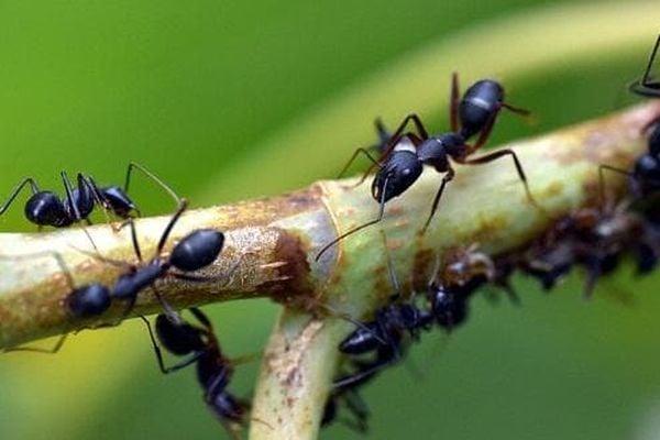 Използвайте сода бикарбонат срещу мравки и други вредители по растенията.