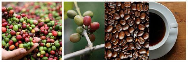 Източници за получаване на кофеин