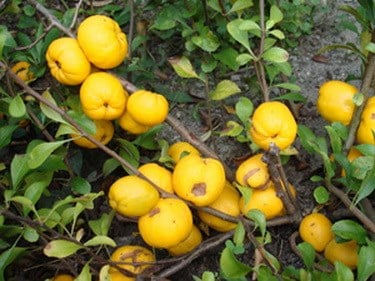 плод на японска дюля