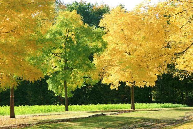 японска софора на есен