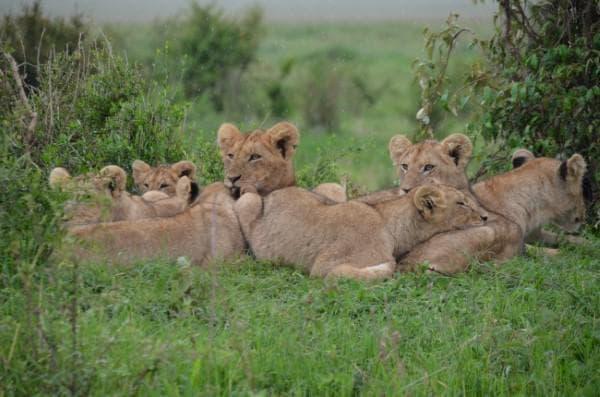 лъвици