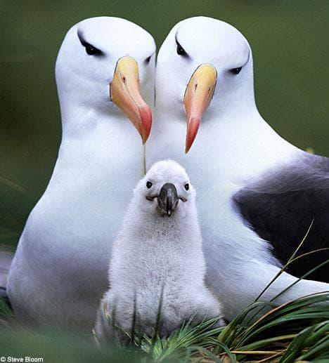 Лайзенски албатроси
