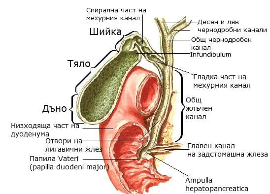 Екстрахепатални жлъчни канали