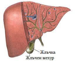 черен дроб и жлъчен мехур