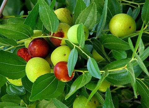 плодове хинап