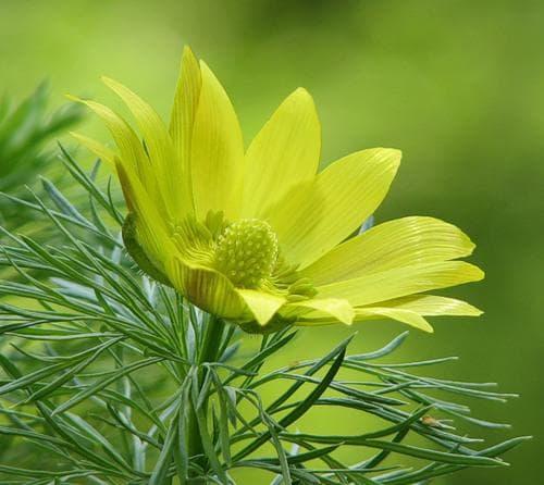 жълт божур