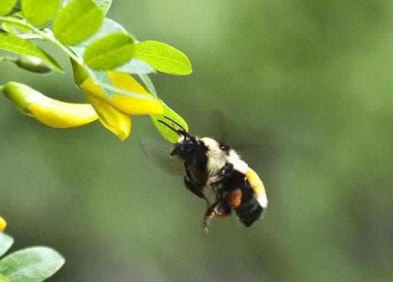 жълта акация с пчела