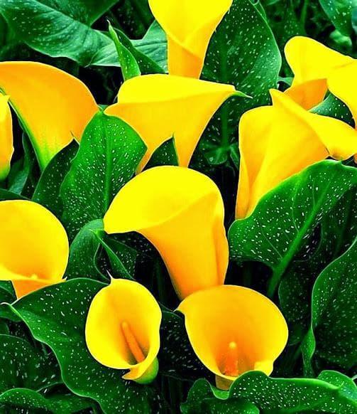 жълта калия