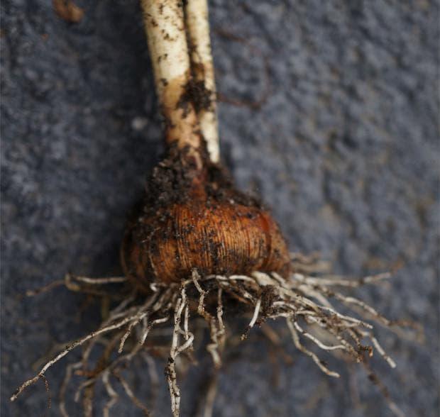 Жълтият минзухар се развива от луковица