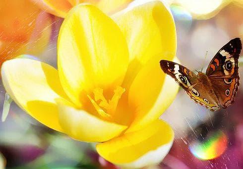 Жълтият минзухар символизира радост и бодрост
