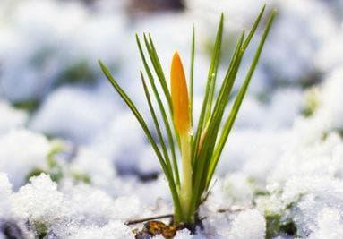 Жълтият минзухар е известен като един от предвестниците на пролетта